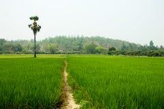 Ryżowy pole w Chiang Mai, Tajlandia Zdjęcie Stock