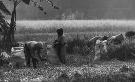 Ryżowy rolnik Zdjęcie Stock