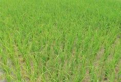 Ryżowy sapling Zdjęcia Stock