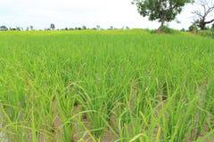 Ryżowy sapling Zdjęcie Stock
