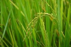 Ryżowy Thailand Obrazy Stock