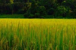 Ryż pola Obrazy Royalty Free