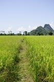 ryż pola Thailand obrazy stock