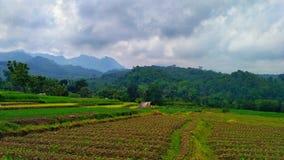 ryż pola w średniogórzach Zdjęcia Royalty Free