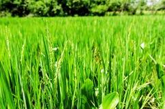 Ryż pola w szerokim zieleni polu zdjęcie royalty free