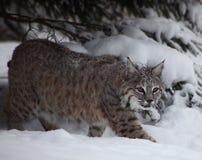 ryś rudy śnieg Fotografia Royalty Free