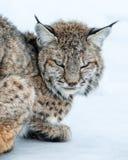 Ryś rudy przerywająca kot drzemka Zdjęcia Royalty Free