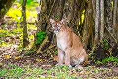 Ryś rudy w dżungli Zdjęcia Royalty Free