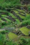 ryż tarasy Fotografia Stock