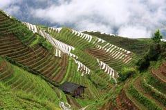 ryż tarasy zdjęcie royalty free