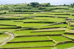 ryż tarasy zielone Zdjęcia Royalty Free