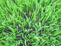 ryż tekstura Fotografia Stock