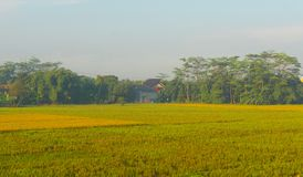 Ryżu pola w tropikalnym kraju na ranku Obraz Stock