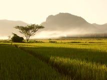 ryż w warunkach polowych Obraz Stock