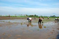 ryż w warunkach polowych zdjęcie royalty free