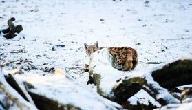 Ry? w zimie obrazy royalty free