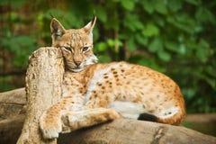 Ryś w zoo Zdjęcia Royalty Free