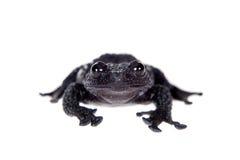 Ryabovi de Theloderma, spieces rares de grenouille sur le blanc Photo libre de droits