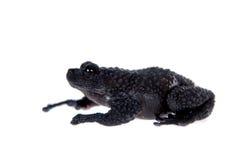 Ryabovi de Theloderma, spieces rares de grenouille sur le blanc Photographie stock