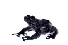 Ryabovi de Theloderma, spieces rares de grenouille sur le blanc Image stock