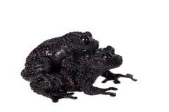 Ryabovi de Theloderma, spieces rares de grenouille sur le blanc Images stock