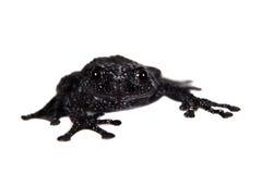 Ryabovi de Theloderma, spieces rares de grenouille sur le blanc Images libres de droits
