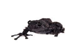 Ryabovi de Theloderma, spieces rares de grenouille sur le blanc Photos stock