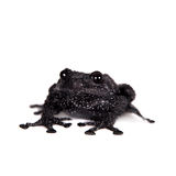 Ryabovi de Theloderma, spieces rares de grenouille sur le blanc Photo stock