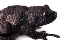 Ryabovi de Theloderma, spieces rares de grenouille sur le blanc Photos libres de droits