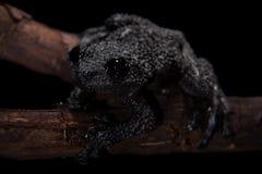 Ryabovi de Theloderma, spieces rares de grenouille sur le noir Photographie stock libre de droits