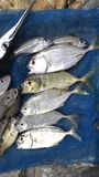 Ryba Fotografia Royalty Free