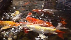 Ryba barwił karpia koi pływanie w basenie zbiory
