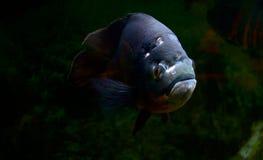 Ryba galanteryjny kolor Obrazy Royalty Free