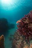 Ryba i tropikalna rafa w Czerwonym morzu. Obraz Royalty Free