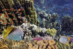 Ryba i tropikalna rafa w Czerwonym morzu Fotografia Stock