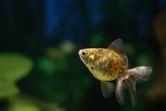 Ryba i zwierzę domowe Goldfish oranda obraz stock