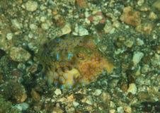 Ryba - longhornu cowfish - nieletni Obraz Royalty Free