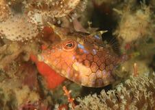 Ryba - longhornu cowfish - nieletni Zdjęcia Royalty Free