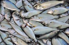 Ryba, mały bluefish Zdjęcie Stock