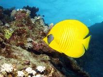 ryba maskująca Fotografia Stock