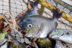 ryba morze Zdjęcie Royalty Free