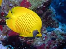 ryba motyl zdjęcia stock