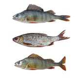ryba odizolowywająca Zdjęcia Stock