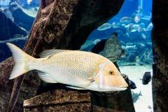 Ryba pływać podwodny Obraz Stock