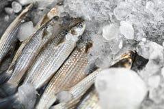 Ryba Popielata barwena, lód Owoce morza Zdrowy Karmowy łasowanie odżywczy fotografia stock
