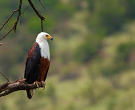 orła ryba profil Obrazy Royalty Free