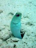 ryba przewodzący szczęki kolor żółty obrazy stock