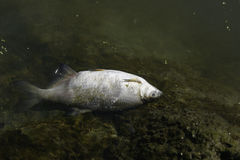 ryba się martwy Obraz Royalty Free
