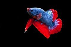 ryba siamese walczył Zdjęcie Stock