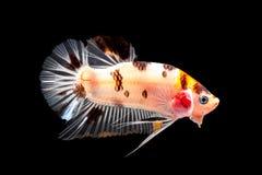 ryba siamese walczył Obraz Royalty Free